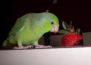 parrotlet-bird-pet-parrot
