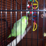Chartreuse the Green Pacific Parrotlet