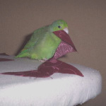 A Day in the Life of a Pet Parrotlet Bird