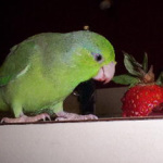 Ten Great Reasons to Buy a Parrotlet